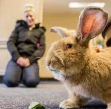 Owning A Pet Giant Rabbit Can Be A Hare-Raising Experience