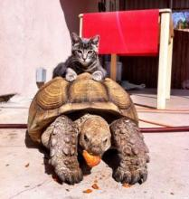 Tortoise-Riding Cat