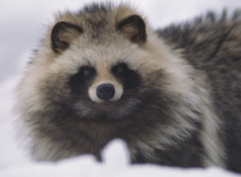 Fur Or Against: Raccoon Dogs Pawned Off As Faux Fur?