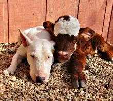 Mini cow Moonpie thinks she's a dog (image via RRR Facebook)