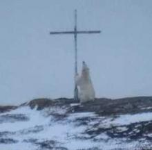 Polar Bear Appears To Be Praying At Outdoor Island Cross