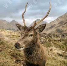 Majestic Scottish Stag Evokes The Untamed Beauty Of The Highlands