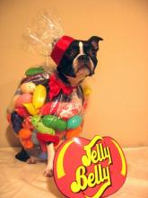 Jelly Bean Dog