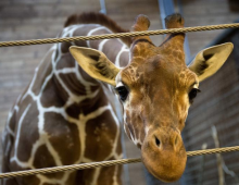 Will April The Giraffe Deliver In April?