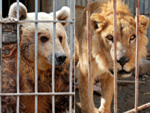 Iraqi Zoo Animal Survivors Live To Hibernate & Roar Another Day