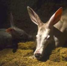 Cute Baby Aardvark Born At Bioparc Valencia