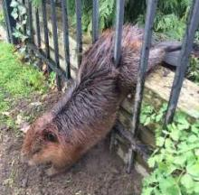 Overwrought Beaver Freed From Wrought Iron Fence