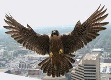 Peregrine Falcons Able To Leap Tall Buildings In A Single Bound