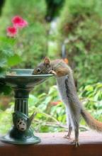 Drinking Squirrel