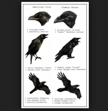 Ravens & Crows Are Birds Of A Feather?