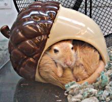 Gerbils as pets, how to keep them healthy