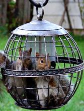 Captive Squirrels
