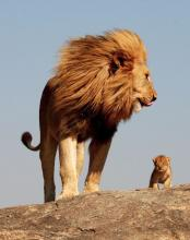 Father and Son Lions