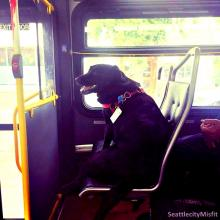 Eclipse riding the bus to the dog park in Seattle (image via SeattlecityMisfit)