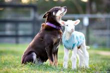 Lambie Baa Baa & Ruby the dog at Edgar's Mission (image via EMFS)