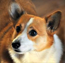 2017 Corgi Races at Canterbury Park