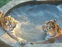 Tiger Hot Tub