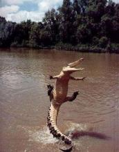 Cannonball Crocodile