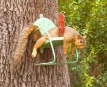 Hot Squirrel