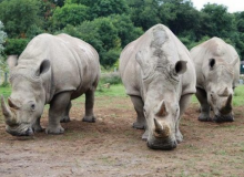 'Test Tube Rhinos' Might Save Endangered Species