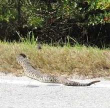 'Incredibly Hugely Fat' Rattlesnake Slithers Across Florida Road