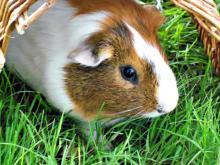Deciphering guinea pig behavior