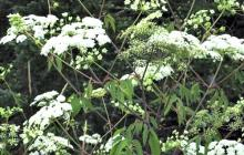 Extremely poisonous water hemlock plant