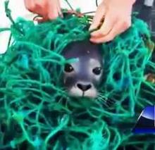 Maine Lobstermen Rescue Seal Pup Tangled In Fishing Net