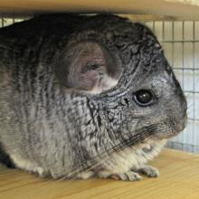 Products for chinchillas