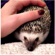 Chappi the African Pygmy Hedgehog (image by chappi_momma)