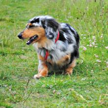 Dachshund study leads to improved human treatments