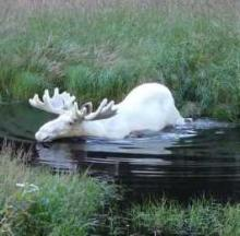 Rare White Moose Snapped Skinny-Dipping In Sweden