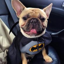 French Bulldog Batman