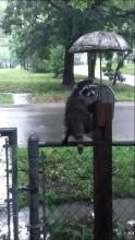 Rainy Day Racoon