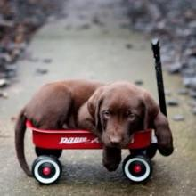 Little Red Wagon Puppy