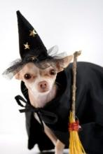 Witchy Chihuahua