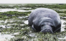 Hurricane Irma Beached Manatees Beached In Manatee County