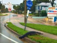 Alligator strolls Melbourne, Florida's, downtown historic district during Hurricane Irma (image via MFD STA. 74)