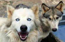 The role of oxytocin in the evolution of wolves to canine companions