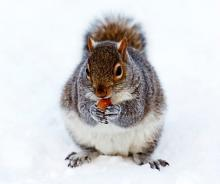 Researchers say fox squirrels are capable of organizational skills