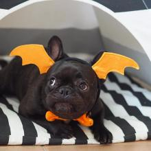 Frenchie Batdog