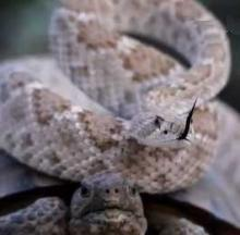 Tortoise-Surfing Rattlesnake Kicks Back & Relaxes