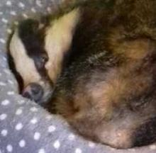 Bushed Badger Barges In, Beds Down For A Cat Nap