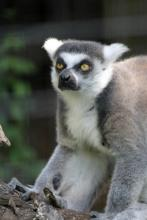 Lemurs & other exotic animals should be left in the wild