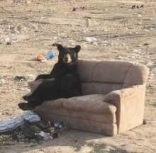 Bear Snapped Sitting On Dumped Sofa Waits For Bruins / Predators Game To Begin
