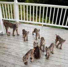 Only In Alaska: Mama Lynx & Her 7 Kittens Visit Anchorage Photographer