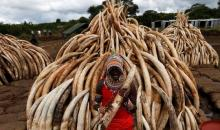 Reversing The Import Of Elephant Trophies Is Based On Conservation?