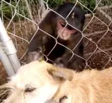 Monkey Masseuse Grooms Flea-Bitten Puppy
