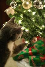 Fascinated Christmas Cat