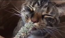 Meowijuana kitty
